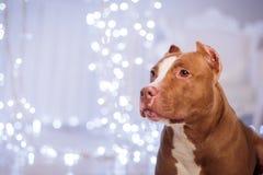 Bonne année, Noël, animal familier dans la chambre Pit Bull Dog Photos libres de droits