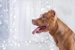 Bonne année, Noël, animal familier dans la chambre Pit Bull Dog Photographie stock