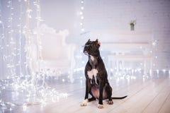 Bonne année, Noël, animal familier dans la chambre Pit Bull Dog Image libre de droits