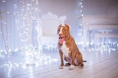 Bonne année, Noël, animal familier dans la chambre Pit Bull Dog Image stock