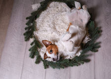 Bonne année, Noël, Jack Russell Terrier vacances et célébration, animal familier dans la chambre Images stock