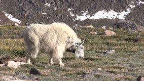 Bonne d'enfants de chèvre de montagne banque de vidéos