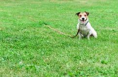 Bonne formation de chien de citoyen : Jack Russell Terrier sur la laisse de longue file de lien- se reposant sur la terre photo stock