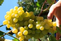 Bonne vigne de summer_good photo stock