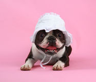 Bonnet. A boston terrier with a baby bonnet on Stock Image
