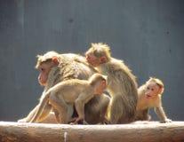 Bonnet die macaque spelen royalty-vrije stock fotografie