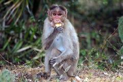 Bonnet Macaque stock foto