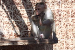 Bonnet macaque Stock Photography