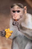 Bonnet macaque Royalty Free Stock Photos