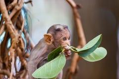 Bonnet macaque stock foto's