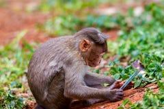 Bonnet macaque royalty-vrije stock fotografie