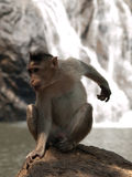 Bonnet Macaque. Photo of the Bonnet Macaque in wildlife Royalty Free Stock Photography