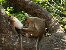 Bonnet Macaque. Photo of the Bonnet Macaque in wildlife Stock Photography