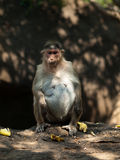 Bonnet Macaque. Satisfied Bonnet Macaque after bananas lunch Stock Image