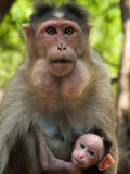 Bonnet Macaque. Photo of the Bonnet Macaque in wildlife Stock Photo