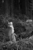 Bonnet macaque, Aap stock afbeeldingen