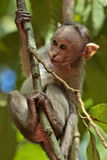 Bonnet Macaque Baby. Young bonnet macaque hanging on a tree in Mollem national park, Goa, India stock photography