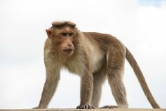 Bonnet Macaque. On Rooftop, Bangalore, India Royalty Free Stock Image