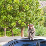 Bonnet Macaque on a Car Roof. Insolent bonnet macaque on a parked car in Gingee, India Stock Photography