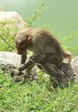 Bonnet Macaque catching insect Stock Image