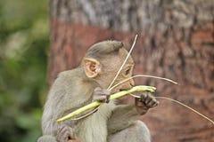 Bonnet macaque cub Stock Photo