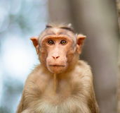 Bonnet Macaque die mischieviously op letten stock afbeeldingen