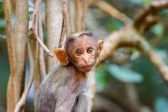 Bonnet Macaque die mischieviously op letten royalty-vrije stock fotografie