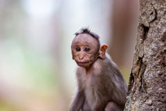 Bonnet Macaque. The bonnet macaque is a macaque endemic to southern India. Its distribution is limited by the Indian Ocean on three sides and the Godavari Stock Image