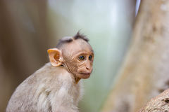 Bonnet Macaque. The bonnet macaque is a macaque endemic to southern India. Its distribution is limited by the Indian Ocean on three sides and the Godavari Stock Photos