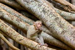 Bonnet Macaque. The bonnet macaque is a macaque endemic to southern India. Its distribution is limited by the Indian Ocean on three sides and the Godavari Royalty Free Stock Images