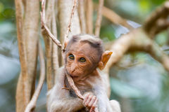 Bonnet Macaque. The bonnet macaque is a macaque endemic to southern India. Its distribution is limited by the Indian Ocean on three sides and the Godavari Stock Photography