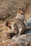 Bonnet Macaque Family Grooming by the Roadside. In Bandipur National Park, India stock photography