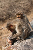 Bonnet Macaque Family Grooming by the Roadside. In Bandipur National Park, India Stock Photos