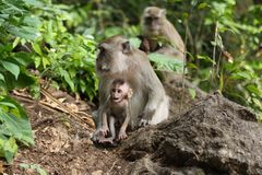 Bonnet Macaque family  (Macaca fascicularis) Stock Photos
