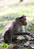 Bonnet macaque feeding royalty free stock photo