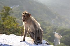 The Bonnet macaque, India Stock Photos