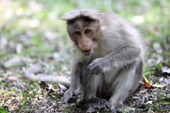Bonnet Macaque in Kerala stock afbeelding