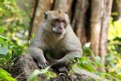 Bonnet Macaque  (Macaca fascicularis) Stock Image