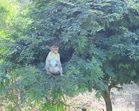 A Bonnet Macaque - Macaca Radiata - sitting on a tree. This is a photograph of a bonnet macaque - Indian monkey - macaca radiata - sitting on a tree... The stock image