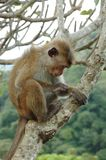 Bonnet Macaque (Macaca radiata) in tropical forest. S of South-eastern Asia royalty free stock images