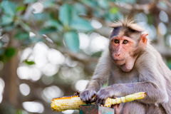 Bonnet Macaque mischieviously watching. The bonnet macaque is a macaque endemic to southern India. Its distribution is limited by the Indian Ocean on three Royalty Free Stock Photo