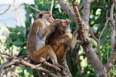 Bonnet Macaque monkey grooming. Sri Lanka Stock Photography