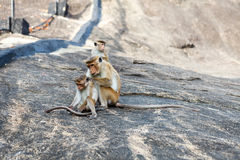 Bonnet Macaque monkey grooming. Sri Lanka royalty free stock photo
