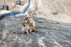 Bonnet Macaque monkey grooming. Sri Lanka royalty free stock photography