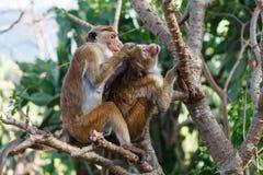 Bonnet Macaque monkey grooming. Sri Lanka royalty free stock photos