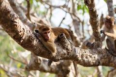 Bonnet Macaque monkey lying on tree. Sri Lanka royalty free stock images