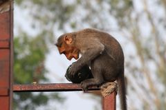 Bonnet Macaque Monkey Royalty Free Stock Image