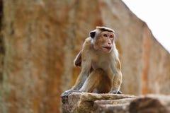 Bonnet Macaque monkey sitting on stone. Sri Lanka stock images