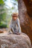 Bonnet Macaque monkey. Sitting on stone, Sri Lanka Stock Photos