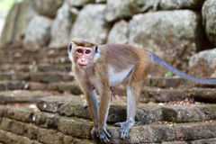 Bonnet Macaque monkey standing on stone. Sri Lanka stock photography